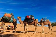 Kamel som går till och med öknen Fotografering för Bildbyråer