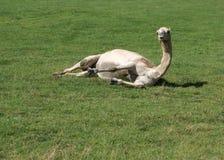 Kamel som lägger ner i ett fält royaltyfri bild