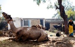 Kamel som ligger på gården Arkivbild