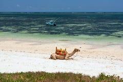 Kamel som ligger på sanden Arkivfoton