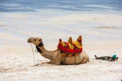Kamel som ligger på sanden Royaltyfri Foto