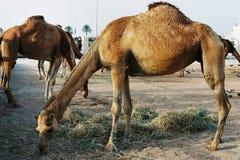 Kamel som matar i i stadens centrum Doha Qatar royaltyfri foto
