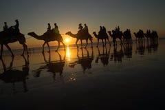Kamel som promenerar solnedgång Royaltyfri Bild