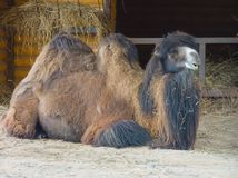 kamel som reposing Arkivfoto