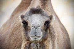 Kamel som ser kameran Arkivfoton