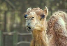 Kamel som ser kameran med att le den likadana blicken Arkivbild
