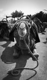 Kamel som stirrar in i kamera Arkivfoto