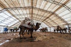 Kamel som väntar på deras vänd i en kamelbrottningfestival i T Royaltyfria Foton
