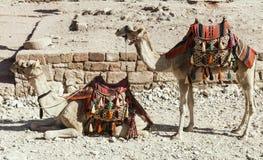 Kamel som väntar på turister, Petra Royaltyfria Bilder