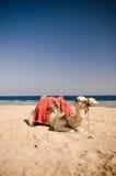 Kamel som vilar på sanden Fotografering för Bildbyråer