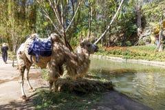 Kamel steht nahe bei Wasserkanal in einem Park lizenzfreies stockfoto