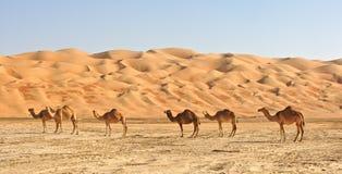 kamel tömmer fjärdedelen royaltyfria bilder