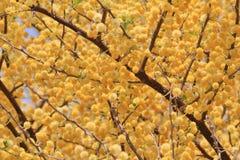 Kamel Thorn Blossoms - bakgrund för lös blomma från Afrika - guld- bollar Royaltyfria Bilder