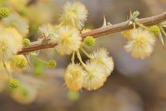 Kamel Thorn Flowers - bakgrund för lös blomma från Afrika - guld- vår Royaltyfri Bild