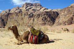 kamel två arkivfoto