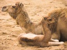 kamel två Arkivbild