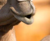 Kamel u. x28; Dromedar oder einhöckriges Camel& x29; , Emirat-Park-Zoo, Abu Dh lizenzfreies stockfoto