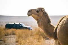 Kamel und Auto nicht für den Straßenverkehr Stockbild