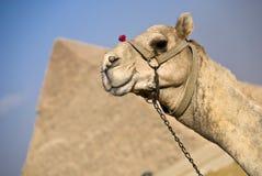 Kamel und die Pyramiden Stockbild