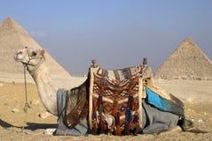 Kamel und die Pyramiden Lizenzfreie Stockbilder