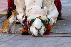 Kamel und Katze Lizenzfreie Stockfotos