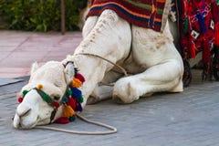 Kamel und Katze Stockfoto