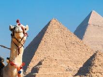 Kamel und Pyramiden stockfotos