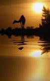 Kamel und Reflexion Stockbild