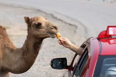 Kamel und Taxi Lizenzfreies Stockfoto