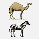 Kamel- und Zebrahandgezeichnete, gravierte wilde Tiere in der Weinlese oder Retrostil, afrikanischer Zoologiesatz Lizenzfreies Stockfoto