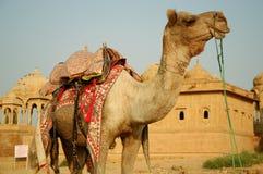 Kamel. Wüste Lizenzfreies Stockfoto