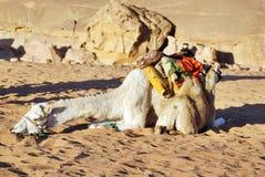 Kamel Wadi Rum Jordan Stockfotos