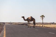 Kamel, welches die Straße in der Wüste kreuzt Lizenzfreie Stockbilder