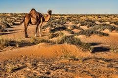 Kamel in Western Sahara Lizenzfreie Stockfotografie