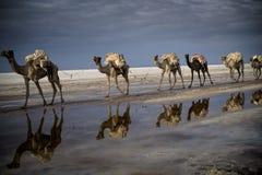Kamel-Wohnwagen lizenzfreies stockbild