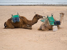 Kamel zwei auf dem Strand Stockbild