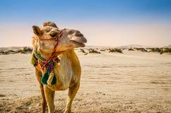 Kamelanseende i öknen som bort ser Arkivfoto