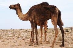 Kamelbaby stockbild