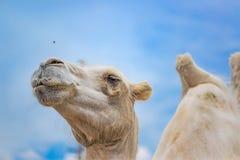Kamelblicke auf die Fliegen schließen oben Lizenzfreie Stockfotografie