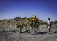 Kamelbonde nära Djibouti Royaltyfria Foton