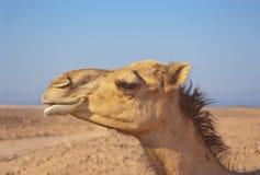 Kameldromedarprofil im blauen Himmel der Wüste im Hintergrund Lizenzfreie Stockbilder