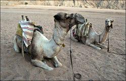 Kamele Stockbild