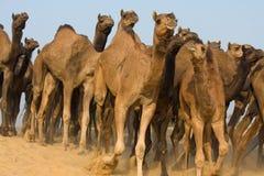 Kamele Lizenzfreie Stockfotos