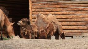 Kamele stock footage