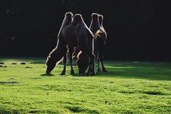 kamele Lizenzfreie Stockbilder