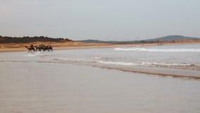 Kamele auf Atlantik setzen nahe Essaouira-Stadt in Marokko auf den Strand stock footage