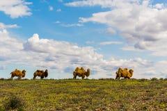 Kamele auf dem Gebiet Stockbilder