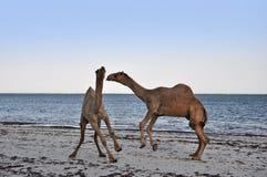 Kamele auf dem Strand Stockfotografie