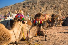 Kamele auf der afrikanischen Wüste Stockfoto
