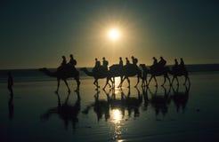 Kamele auf Seilzug-Strand Stockbilder